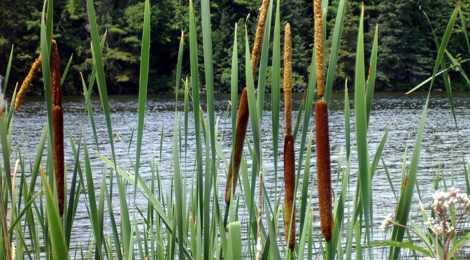 Cattails got your tongue